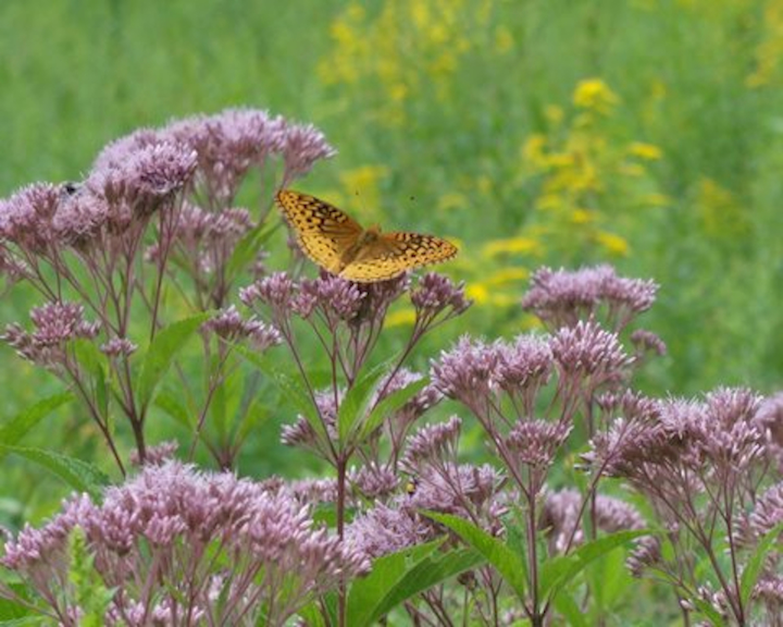taylor_butterfly_blackstone