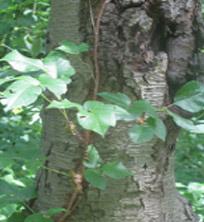 Poison-Ivy-Summer