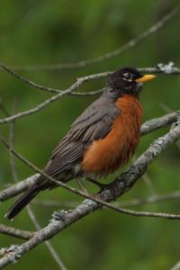 american-robin