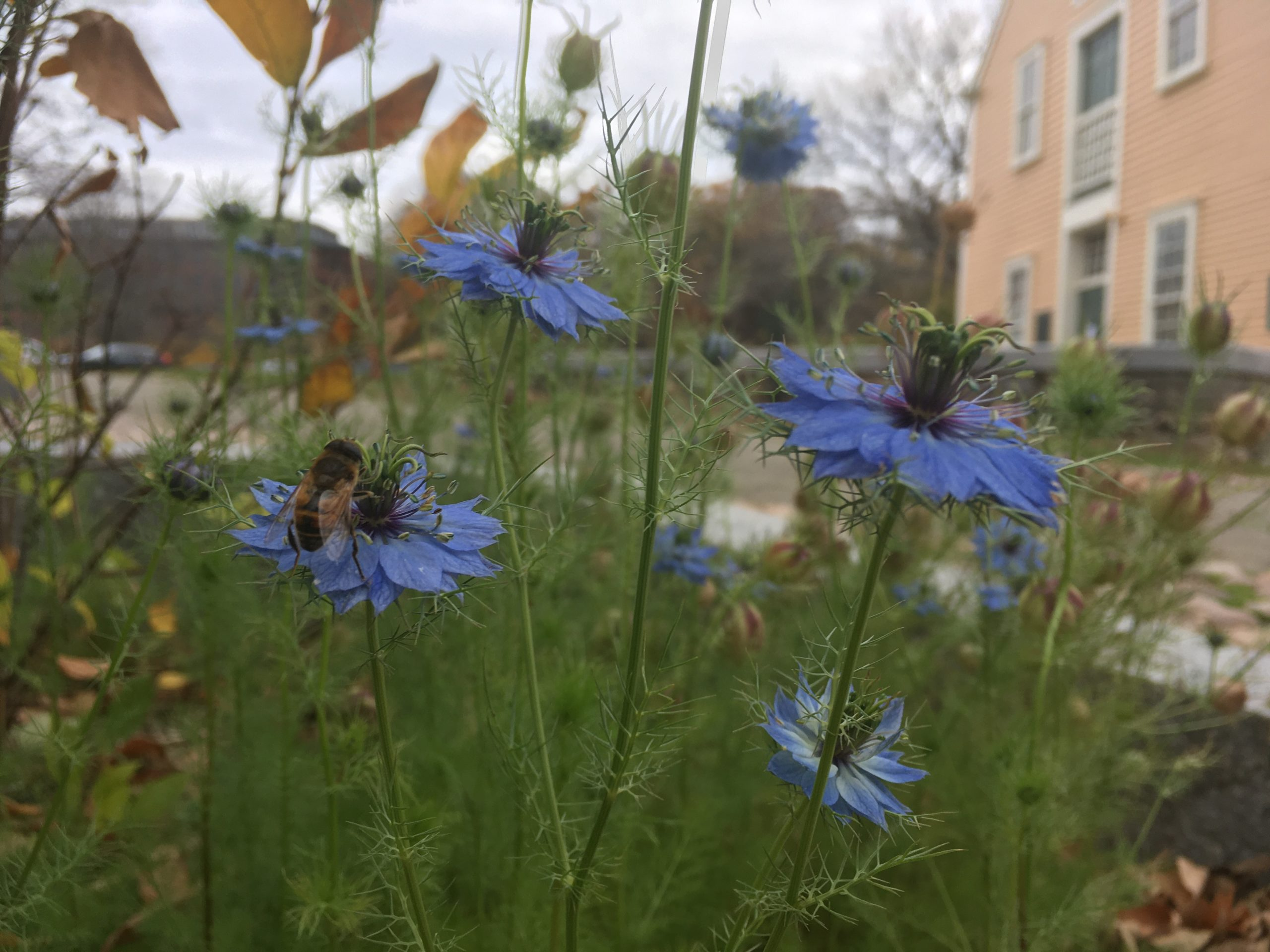 Pollinators love the garden at the Old Slater Mill Historic site in Pawtucket, RI. - photo by Josh Bell