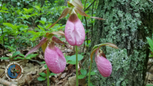 newsletter cover with lady slippers